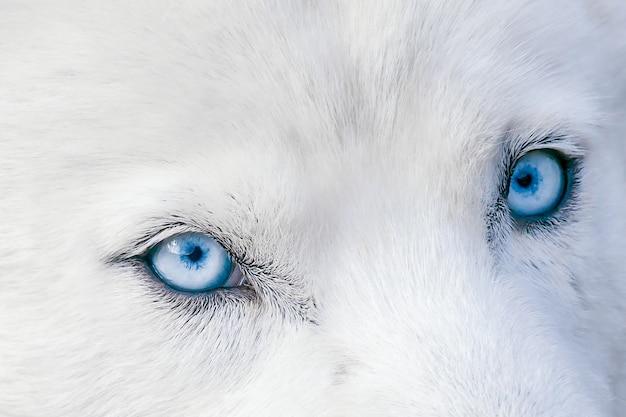 Голубые глаза с белоснежным пушистым мехом хаски