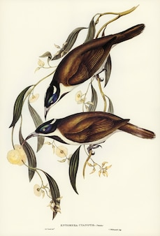Blue-faced entomyza (entomyza cyanotis) illustrated by elizabeth gould