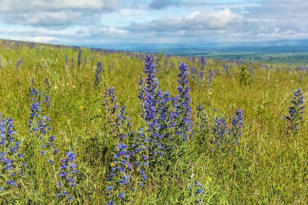 空のクローズアップに対して青い野原の花。ブルーフィールドフラワー。