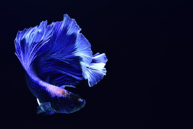 Blue fighting fish.