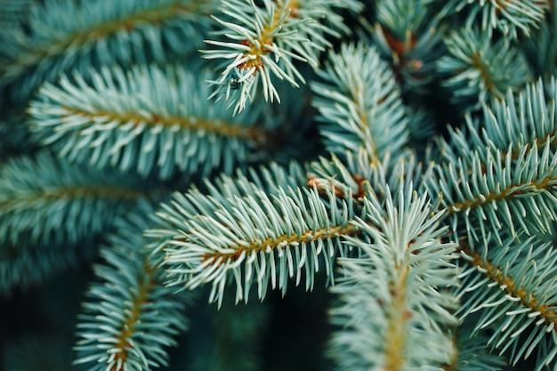 Blue fir tree branches close-up