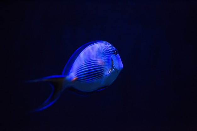 Blue fish in dark water