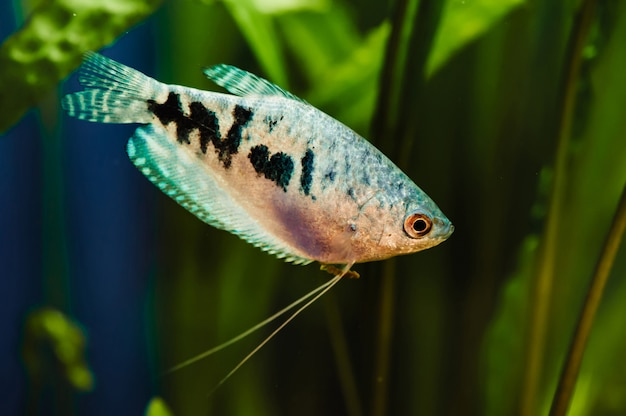 Blue fish gurami floats in home aquarium
