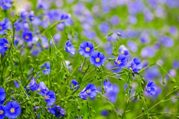 青い亜麻の花は花の背景を形成します