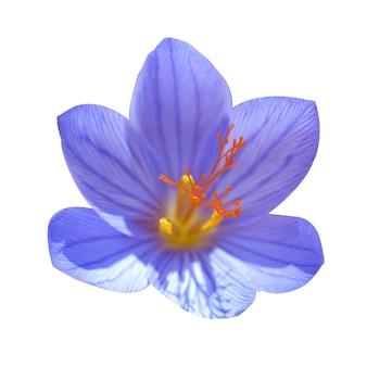 白い背景で隔離の青い花クロッカスligusticus(サフラン)