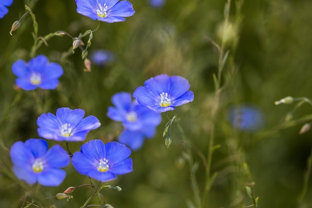 Blue flower of  flax flower on grassy background agricultural field of industrial flax