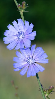 Голубой цветок - это цикорий, который растет на лугу в дикой природе, крупным планом.