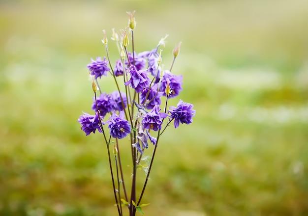 セイヨウオダマキの青い花。