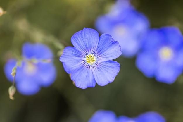 草が茂った背景に亜麻の花の青い花産業亜麻の農業分野 Premium写真