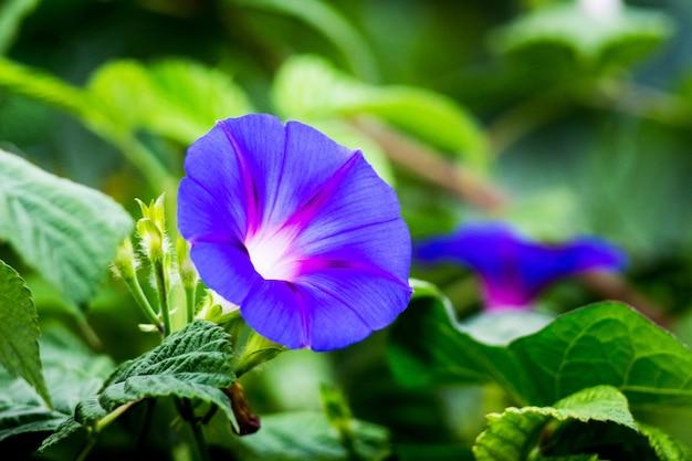 녹색 leaves_ 배경에 나팔꽃 (ipomoea)의 푸른 꽃