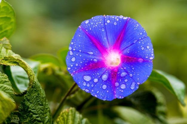 Голубой цветок утренней славы (ипомея) с каплями дождя