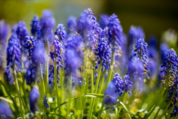 青い開花ムスカリ春の花。セレクティブフォーカス。閉じる