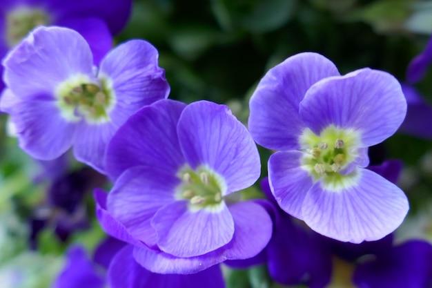 青い花のクローズアップ。春の花の背景。緑の葉の青い花