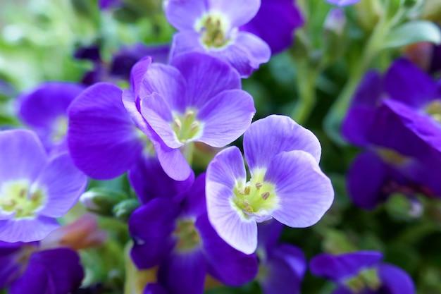 青い花のクローズアップ。春の花の背景。