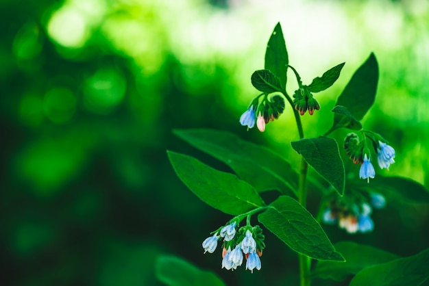 Blue flowers of comfrey with green leaves grow on bokeh background.