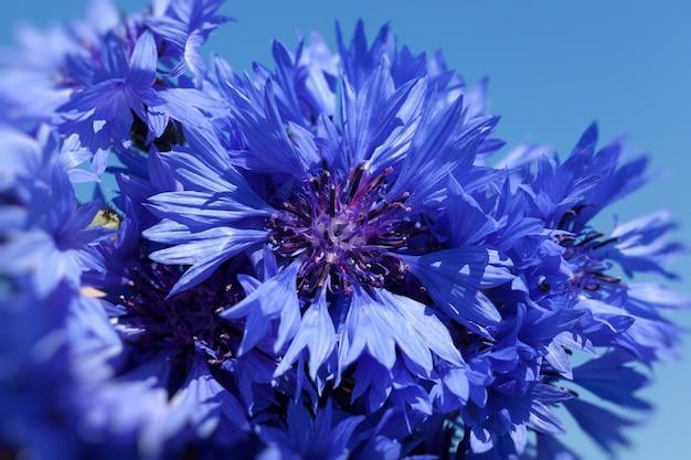 Синие цветы, растущие на полях летом, синие васильки летом