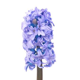 分離された青い花ヒヤシンス