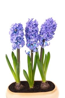 分離された植木鉢の緑の葉と青い花ヒヤシンス