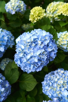 Blue flowers on a hydrangea bush closeup