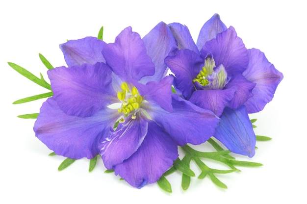 白い背景で隔離の青い花