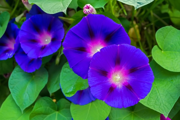 Blue flowers of morning glory on the background of leaves