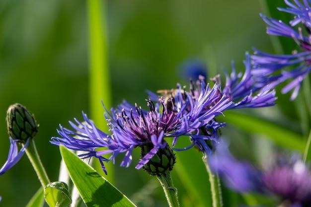 수레국화의 푸른 꽃, 여름에 따온 소박한 꽃다발