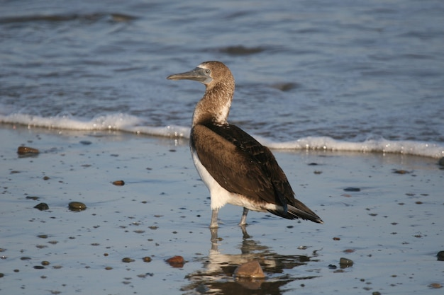 Blue footed booby on beach