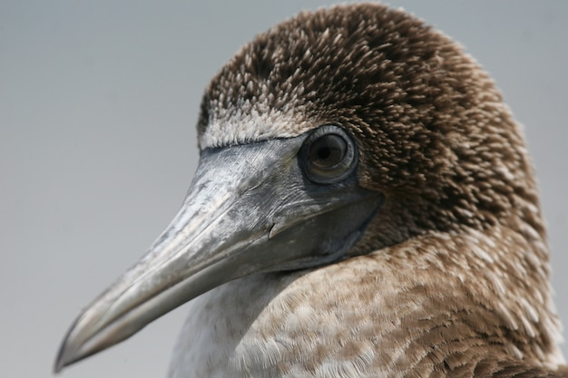 Blue-footed booby close-up
