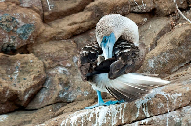 Blue-footed booby (sula nebouxii) cleaning itself, tagus cove, isabela island, galapagos islands, ecuador