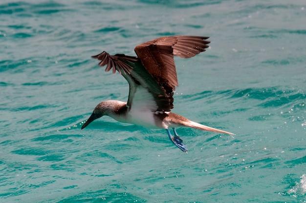 Blue-footed booby (sula nebouxii) flying over the ocean, san cristobal island, galapagos islands, ecuador