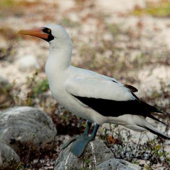 Blue-footed booby (sula nebouxii), genovesa island, galapagos islands, ecuador