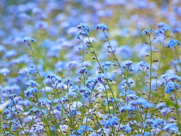Blue forget me not flowers blooming.