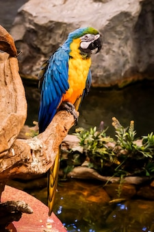 Blue and gold macaw (ara ararauna) is standing on the tree branch.