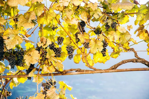 Blue grapes at sunset in autumn vineyard.