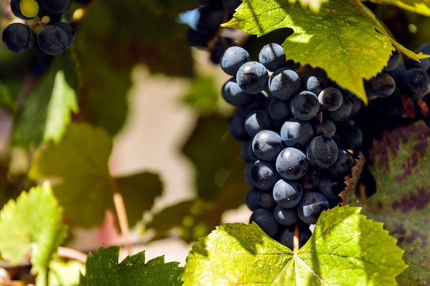 Blue grapes on a vineseasonal food concept