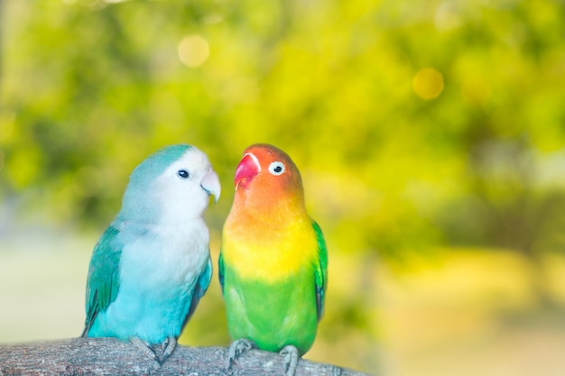 Blue and green lovebird parrots sitting together on a tree branch at sunset
