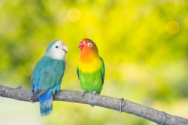 Blue and green lovebird parrots sitting together on a tree branch