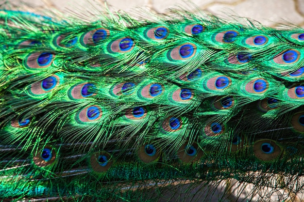 Blue-green peacock feathers