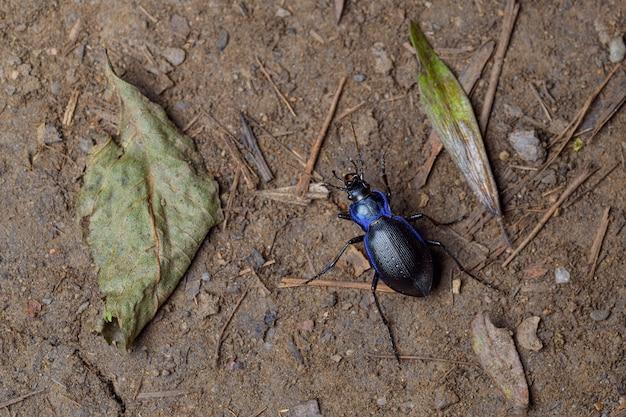 The blue ground beetle (carabus intricatus)