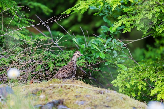 Blue grouse displaying colors during mating season on a hillside covered with flowers meadow
