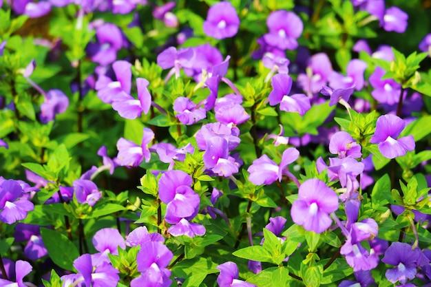 ブルーハワイは一年を通してリリースできる二年生植物です