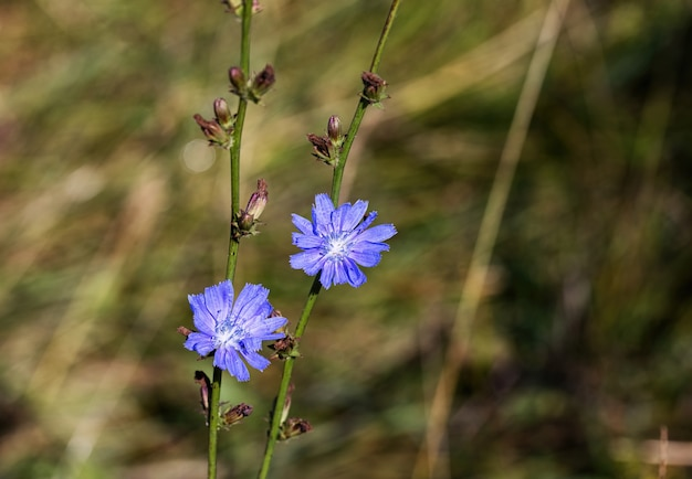 A blue healing flower of wild chicory in the forest.