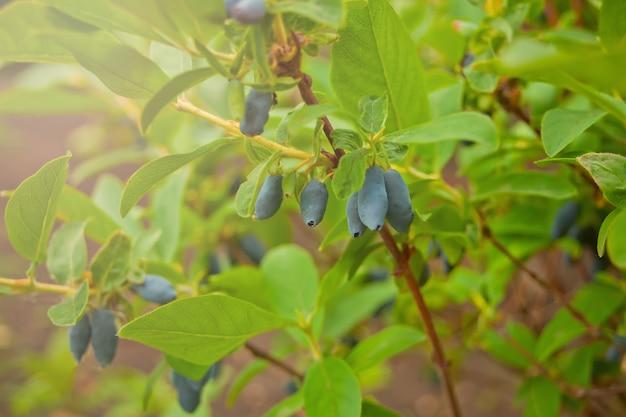 Blue honeysuckle known also as honeyberry,