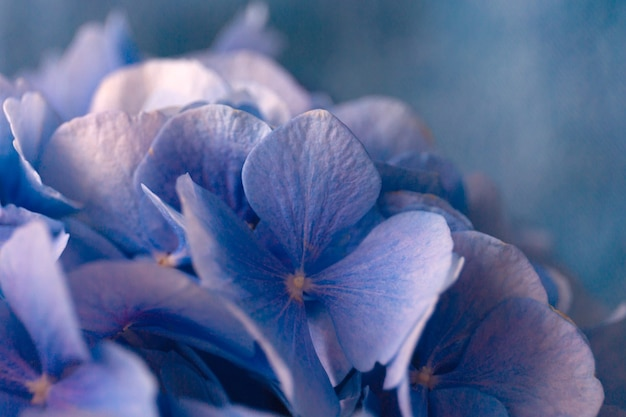 Blue hortensia flowers on blue.