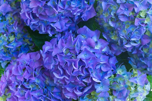 Blue hortensia flowers close up macro  background