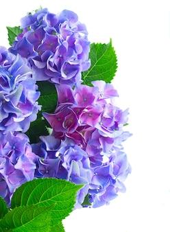 Blue hortensia fresh flowers with fresh green leaves border isolated on white background