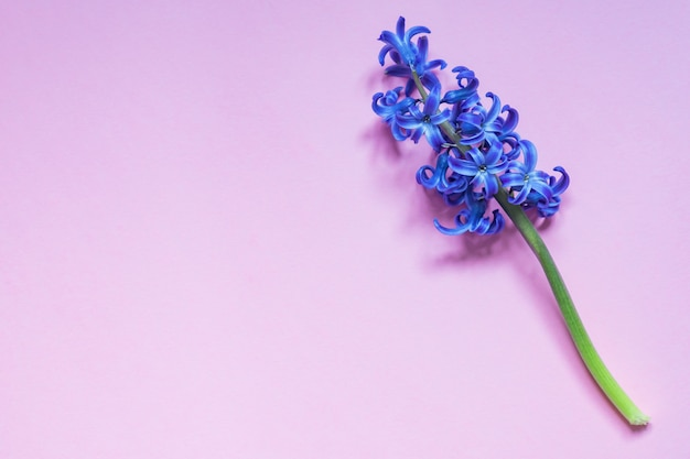 Blue hyacint flower on pastel purple gradient background. flat lay, top view, copy space