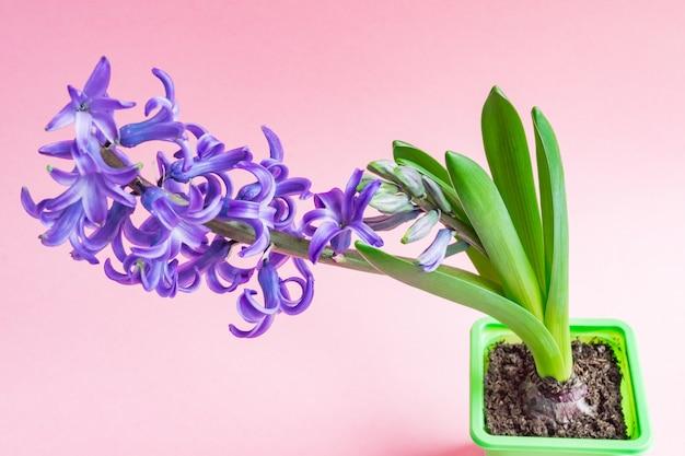 블루 히 아 신 스 꽃 핑크에 꽃 봉 오리를 폐쇄. 공간을 복사하십시오.