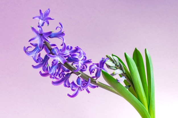 Blue hyacinth flower closed bud on purple background. copy space.