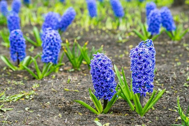 春の公園で青いヒヤシンスの花